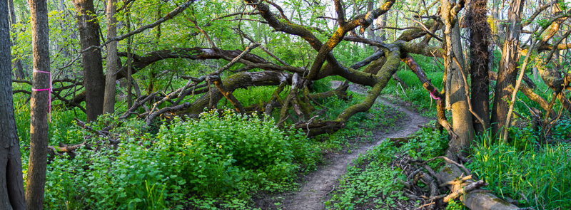 The 206 trail weaves through branches of a large fallen tree.